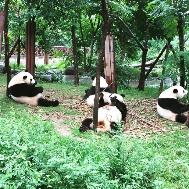 Pandas relaxing